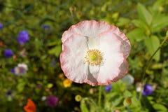 Flower, Wildflower, Flora, Petal Stock Image