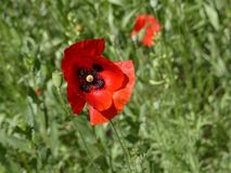 Flower, Wildflower, Flowering Plant, Poppy royalty free stock images