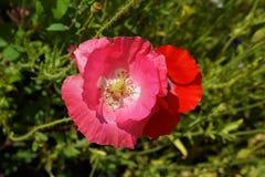 Flower, Wildflower, Pink, Flowering Plant stock image