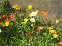 Flower, Wildflower, Plant, Eschscholzia Californica royalty free stock photography