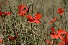 Flower, Wildflower, Plant, Poppy stock photography