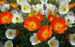Flower, Wildflower, Plant, Poppy royalty free stock photo