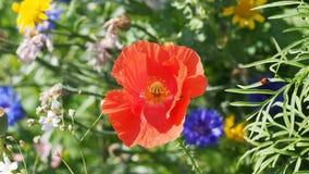 Flower, Wildflower, Plant, Poppy stock photos