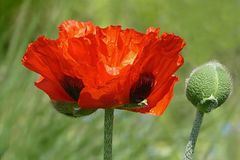 Flower, Wildflower, Poppy, Coquelicot Royalty Free Stock Photography