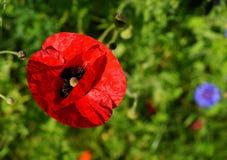 Flower, Wildflower, Poppy, Coquelicot Stock Photography