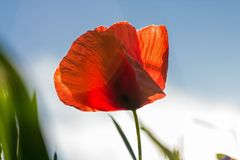 Flower, Wildflower, Poppy, Coquelicot Stock Photography