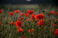 Flower, Wildflower, Poppy, Field Royalty Free Stock Photography