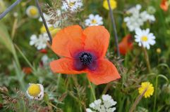 Flower, Wildflower, Poppy, Flowering Plant royalty free stock photo