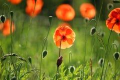 Flower, Wildflower, Poppy, Meadow stock photography