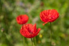 Flower, Wildflower, Poppy, Meadow stock image