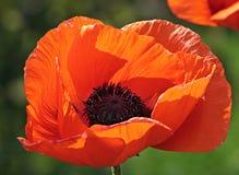 Flower, Wildflower, Poppy, Orange Royalty Free Stock Photos