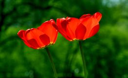 Flower, Wildflower, Poppy, Petal Stock Images