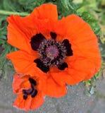 Flower, Wildflower, Poppy, Plant stock image