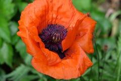 Flower, Wildflower, Poppy, Poppy Family stock image