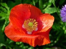 Flower, Wildflower, Poppy, Poppy Family