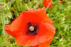 Flower, Wildflower, Poppy, Vegetation Royalty Free Stock Photography