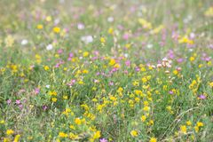 Flower, Wildflower, Yellow, Meadow stock photography