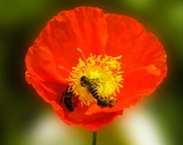 Flower, Wildflower, Yellow, Poppy Royalty Free Stock Photos