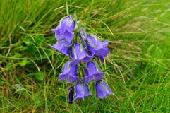Flower Willow Gentian Stock Image