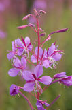 Flower of willow-herb Royalty Free Stock Photos