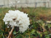 Flower in winter. Dandelion with snow in winter time Royalty Free Stock Photos