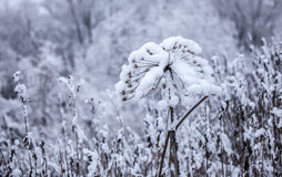 Flower in winter with snow Royalty Free Stock Photo
