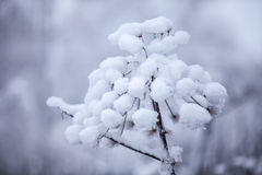 Flower in winter with snow Royalty Free Stock Photography