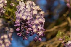 Flower Wisteria. Closeup at sunset Stock Photo