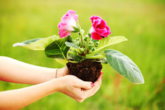 Flower in woman hands Stock Image