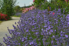 Flower. Wonderful garden in south germany with blue lavender full of nature in the flowering period, perfect for vacation Stock Photo