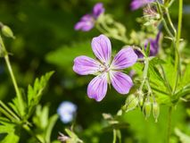 Flower of Wood cranesbill or Geranium sylvaticum with defocused background macro, selective focus, shallow DOF Stock Image