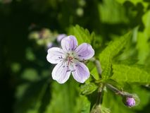 Flower of Wood cranesbill or Geranium sylvaticum with defocused background macro, selective focus, shallow DOF.  stock photography