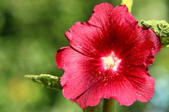 Flower Year bright daytime. Flower of the Mallow - Year bright daytime Stock Photo