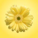 Flower yellow Stock Image