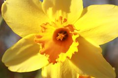 Jonquil royalty free stock photography