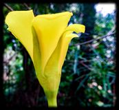 Flower of yellow and blur blacked colour. royalty free stock photos