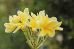 Flower. Yellow Flower from Chiangmai, Thailand royalty free stock photos