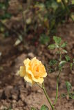 Plant , flower, Yellow chinese rose flower, waiting for hope, happiness, glory, and beauty like new Royalty Free Stock Images