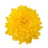 Flower yellow chrysanthemum. Isolated white background royalty free stock image