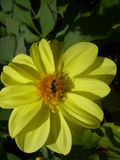 Flower yellow Royalty Free Stock Images
