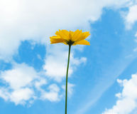 Flower. Yellow Cosmos flower and blue sky Stock Images