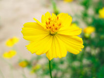 Flower. Yellow Cosmos flower and blue sky Stock Photos