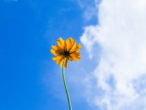 Flower. Yellow Cosmos flower and blue sky Stock Photo
