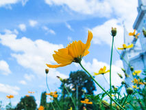 Flower. Yellow Cosmos flower and blue sky Royalty Free Stock Images