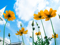 Flower. Yellow Cosmos flower and blue sky Royalty Free Stock Photos