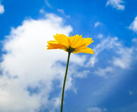 Flower. Yellow Cosmos flower and blue sky Royalty Free Stock Photo