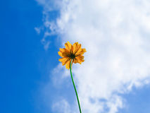 Flower. Yellow Cosmos flower and blue sky Stock Image