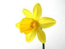 Flower of yellow daffodil. On white background Stock Photography