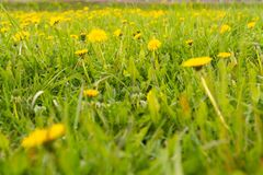 Flower yellow dandelion in green grass as background or picture royalty free stock photo