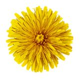 Flower yellow dandelion isolated on white background. Flower bud close up. Element of design.  royalty free stock photography